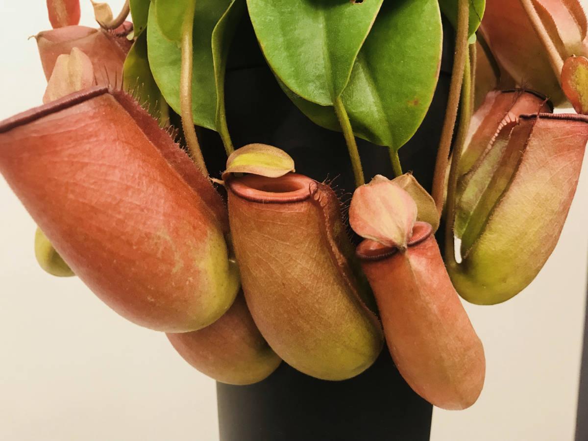 観葉植物 食虫植物 ★ ウツボカズラ ネペンテス レディラック Nepenthes Lady Luck _画像2