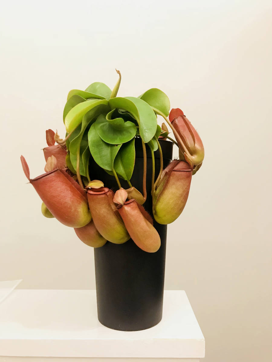 観葉植物 食虫植物 ★ ウツボカズラ ネペンテス レディラック Nepenthes Lady Luck