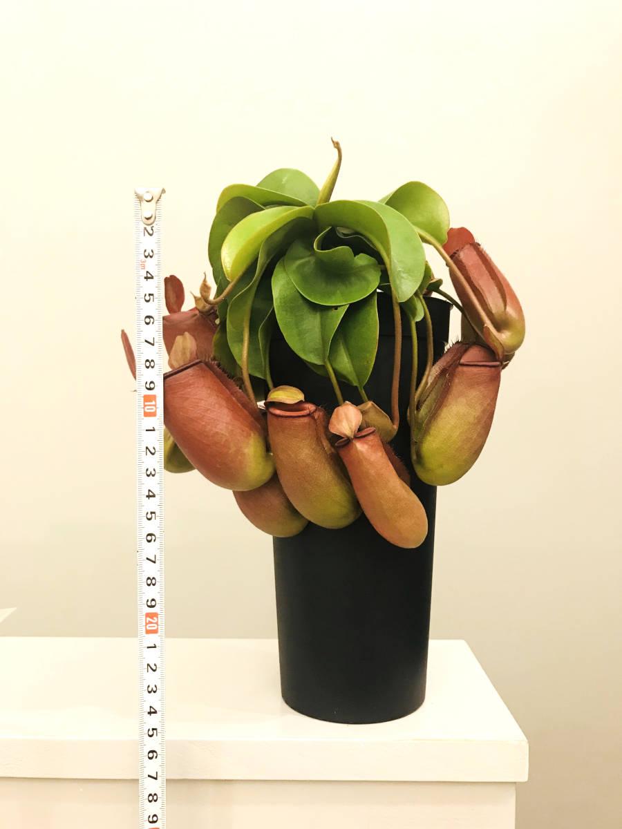 観葉植物 食虫植物 ★ ウツボカズラ ネペンテス レディラック Nepenthes Lady Luck _画像3