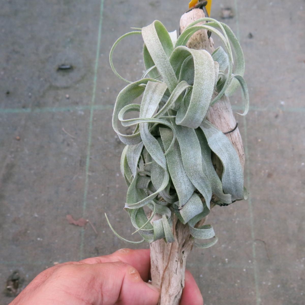ティランジア コレクション Tillandsia streptophylla _画像2