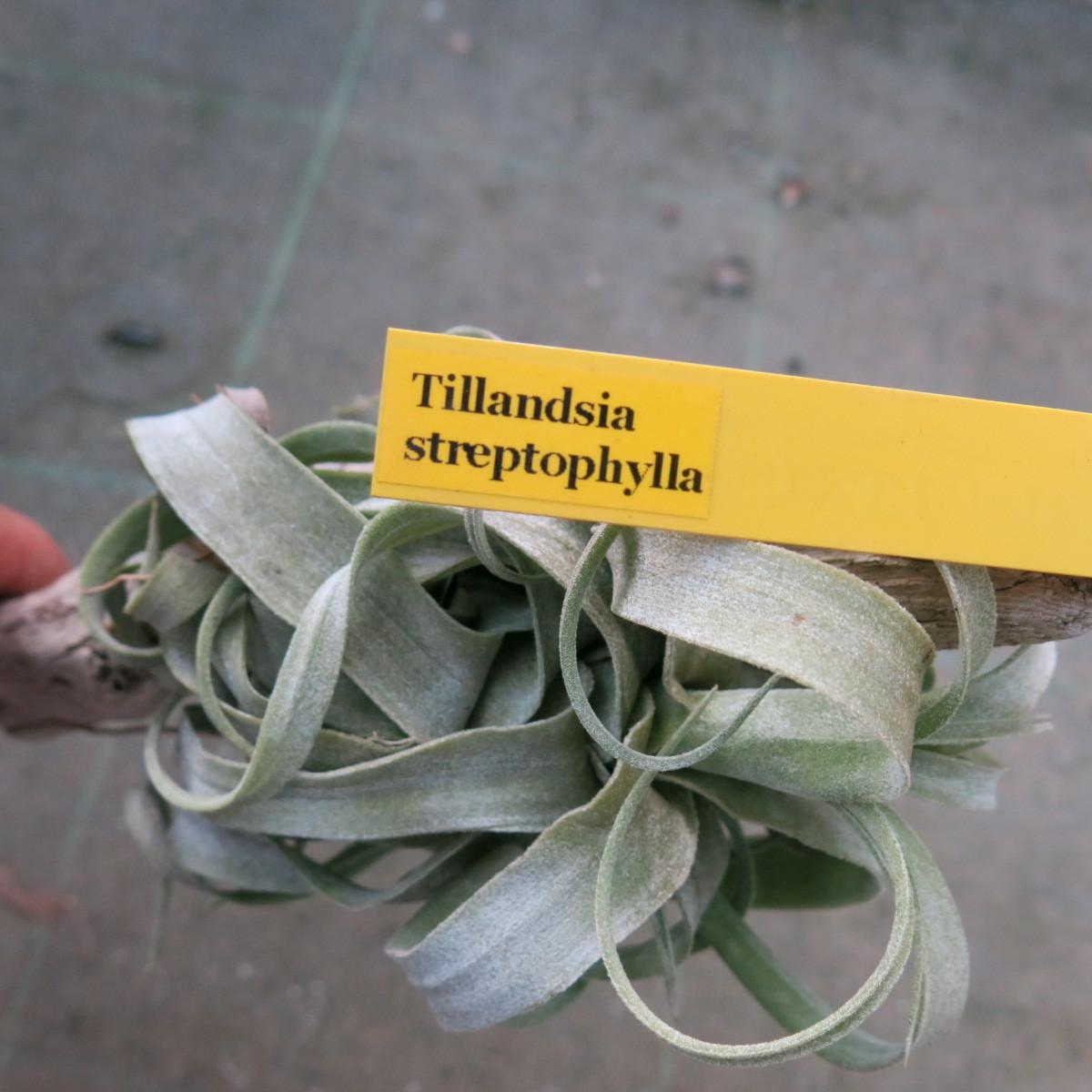ティランジア コレクション Tillandsia streptophylla _画像7