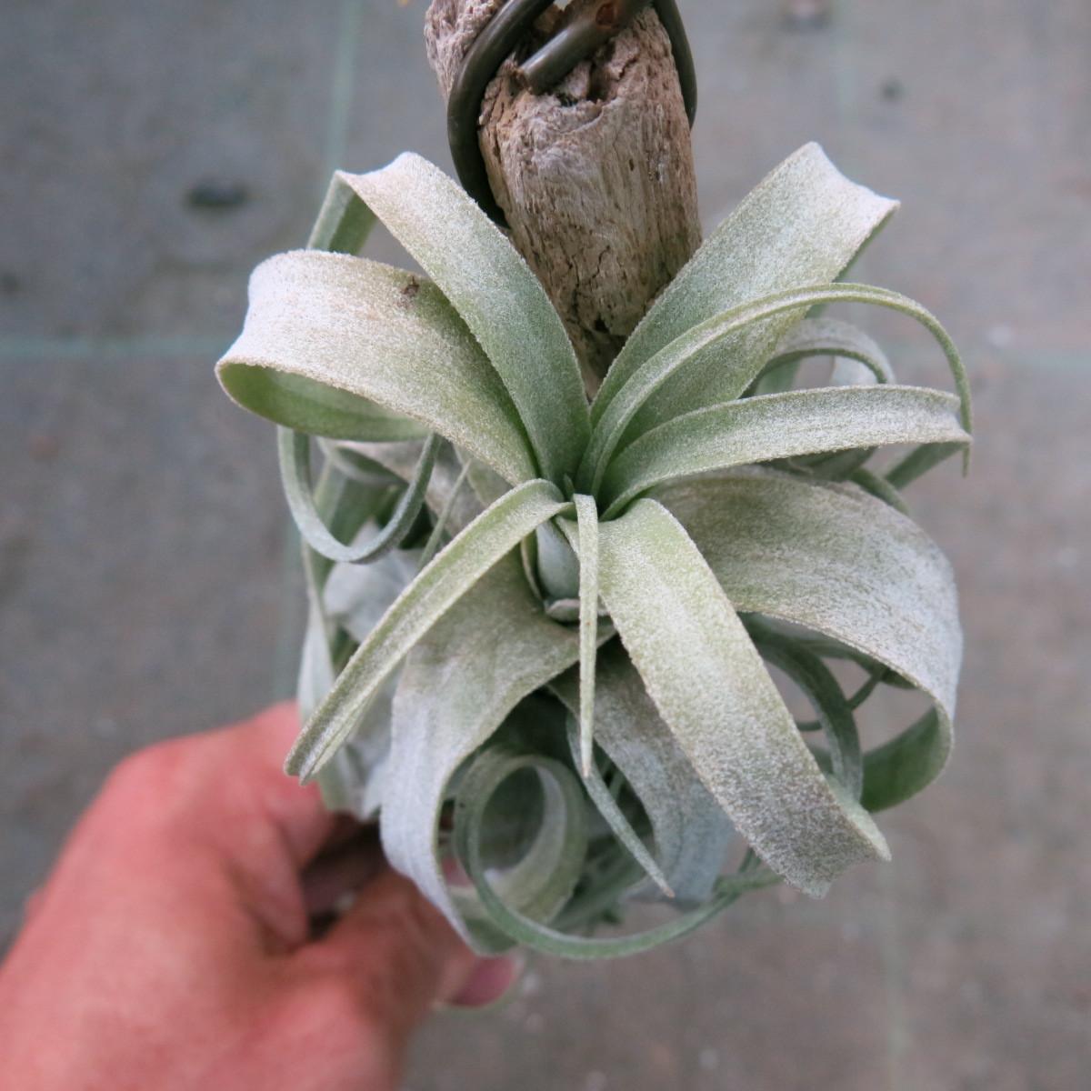 ティランジア コレクション Tillandsia streptophylla _画像4