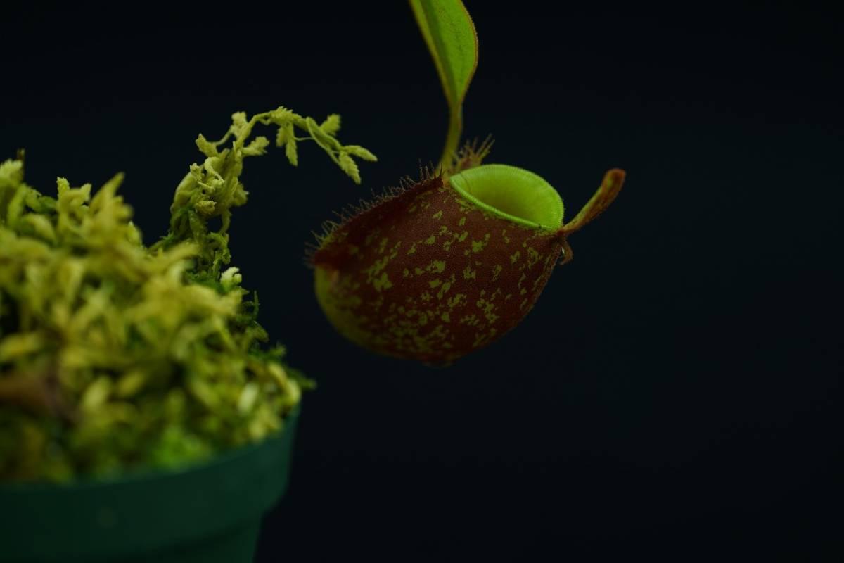 Nepenthes ampullaria Black OMB2 XC 食虫植物 ネペンテス_画像3