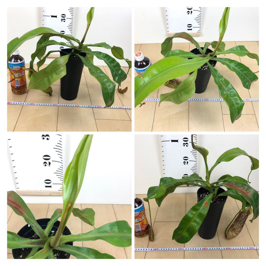 """【食虫植物 ネペンテス """"バービッジアエ×エドワードシアナ""""  3.5号 5鉢セット】_画像6"""