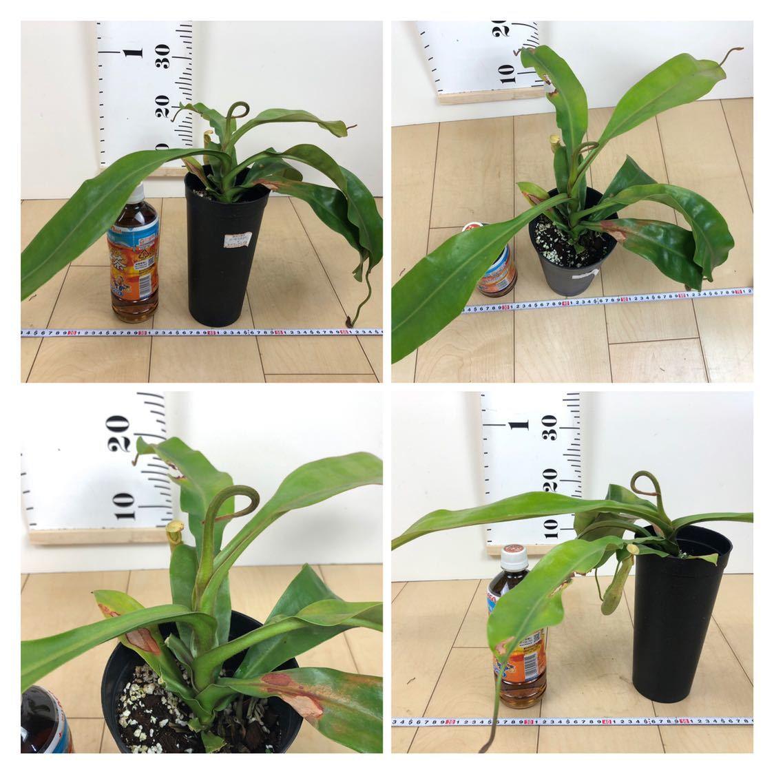 """【食虫植物 ネペンテス """"バービッジアエ×エドワードシアナ""""  3.5号 5鉢セット】_画像7"""