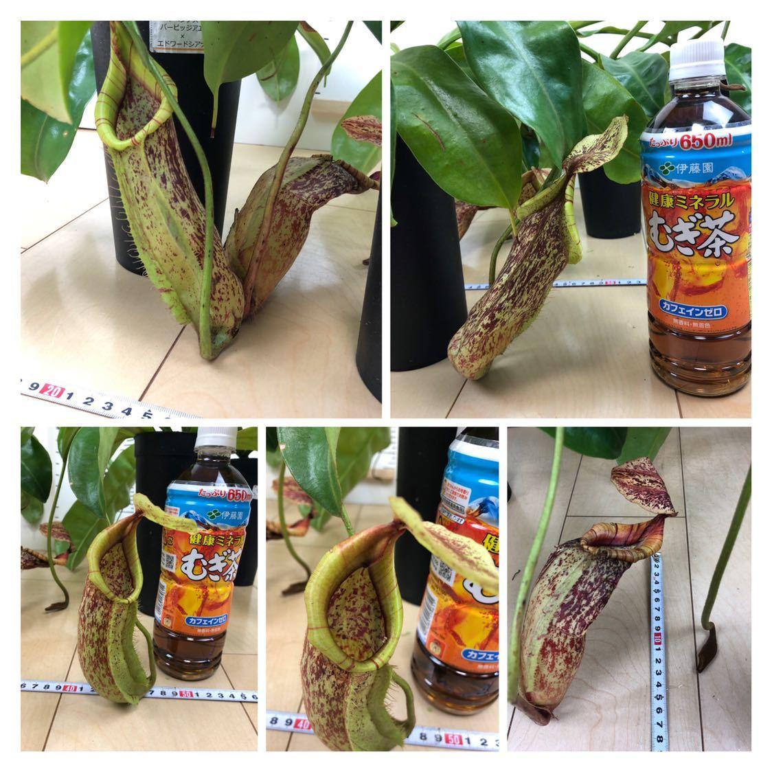 """【食虫植物 ネペンテス """"バービッジアエ×エドワードシアナ""""  3.5号 5鉢セット】_画像3"""