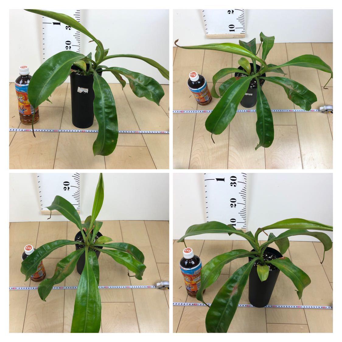 """【食虫植物 ネペンテス """"バービッジアエ×エドワードシアナ""""  3.5号 5鉢セット】_画像8"""