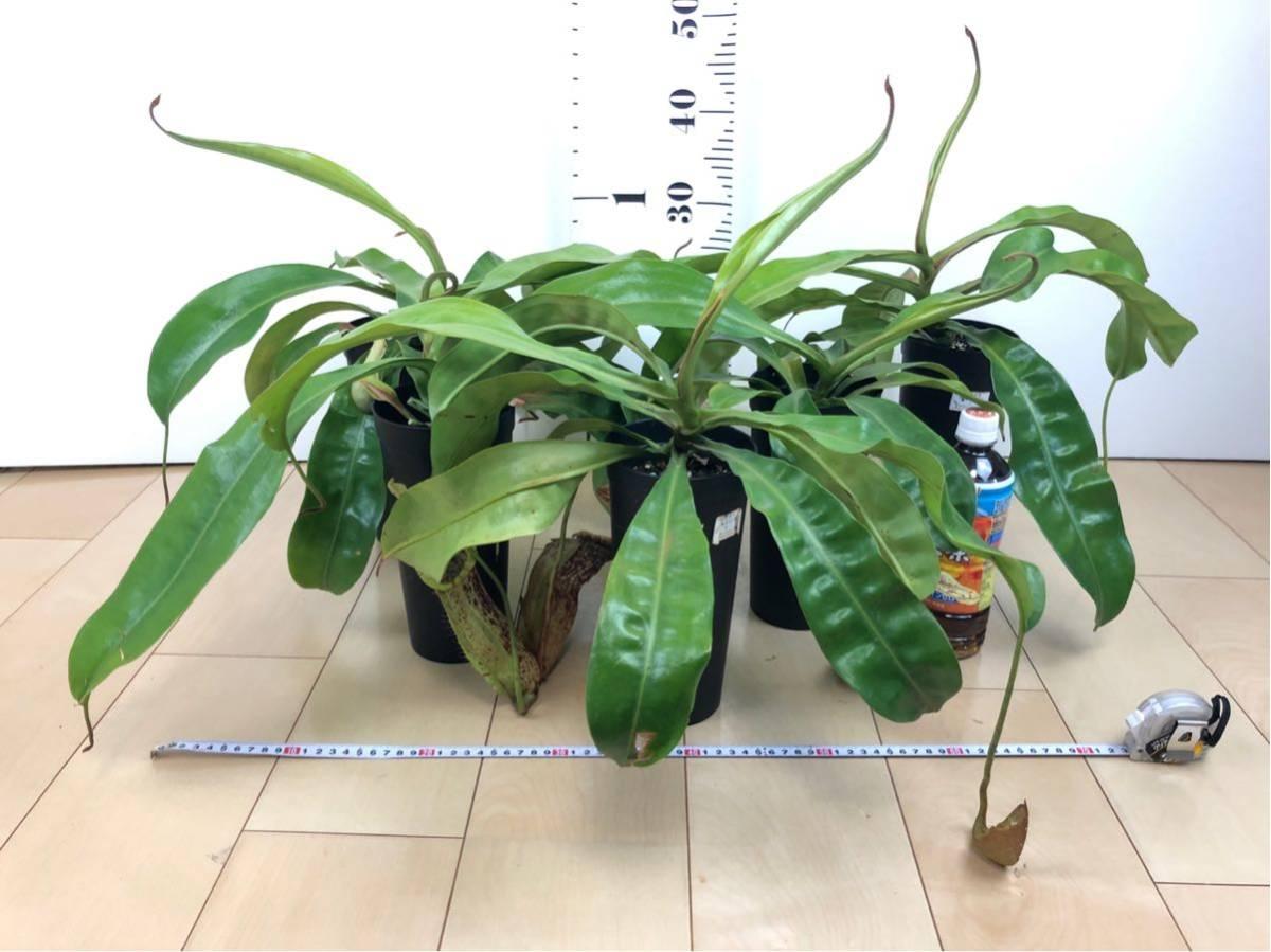 """【食虫植物 ネペンテス """"バービッジアエ×エドワードシアナ""""  3.5号 5鉢セット】"""