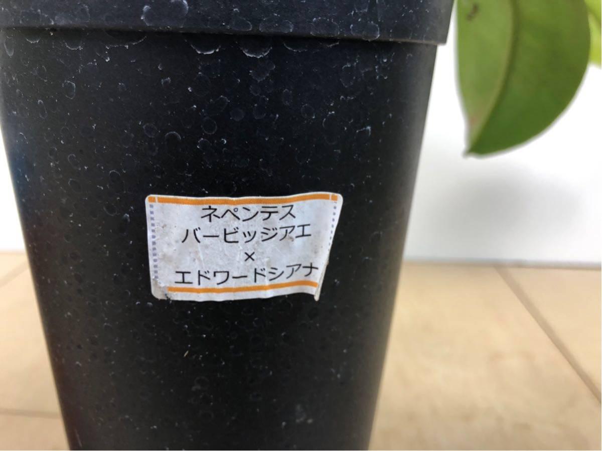"""【食虫植物 ネペンテス """"バービッジアエ×エドワードシアナ""""  3.5号 5鉢セット】_画像9"""