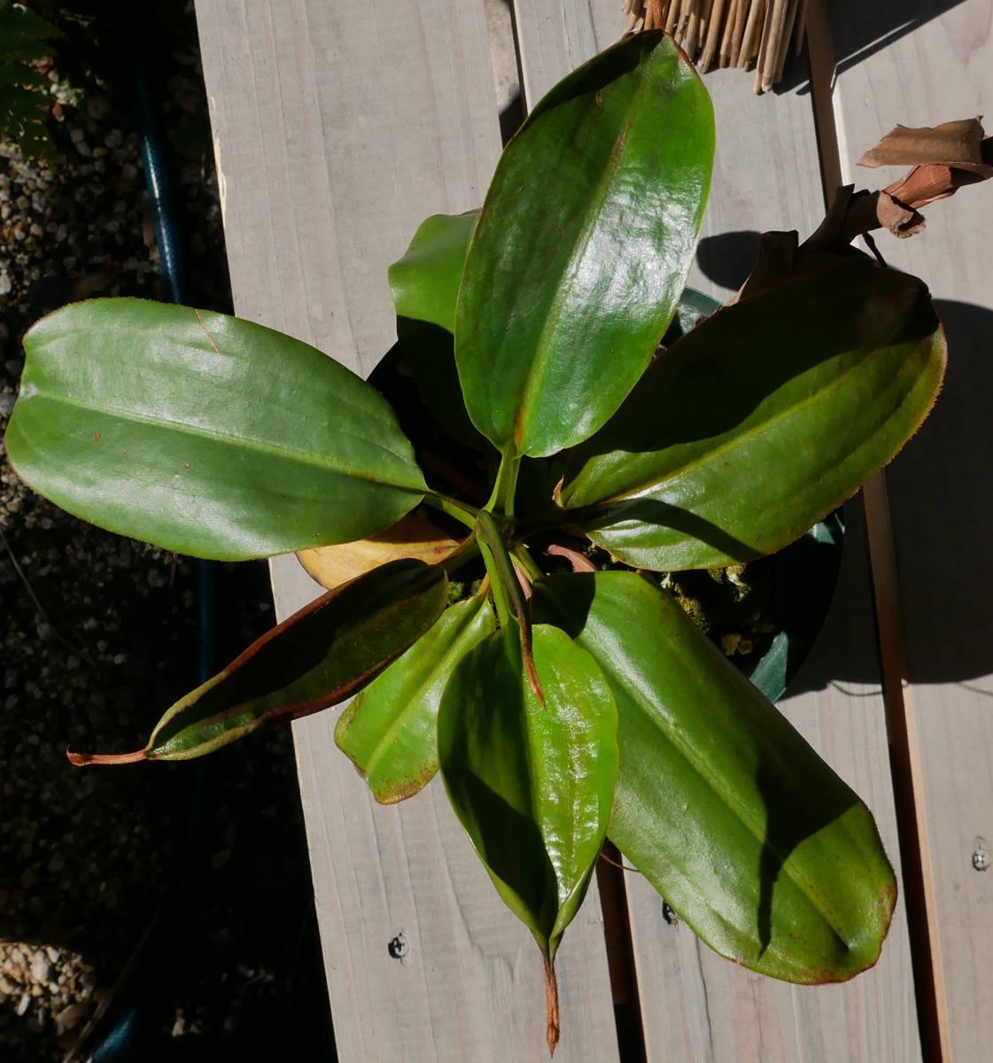 食虫植物 ウツボカズラ Nepenthes rajah x mira Borneo Exotics 実生