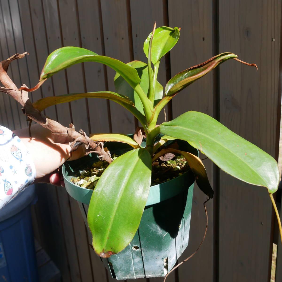 食虫植物 ウツボカズラ Nepenthes rajah x mira Borneo Exotics 実生_画像2