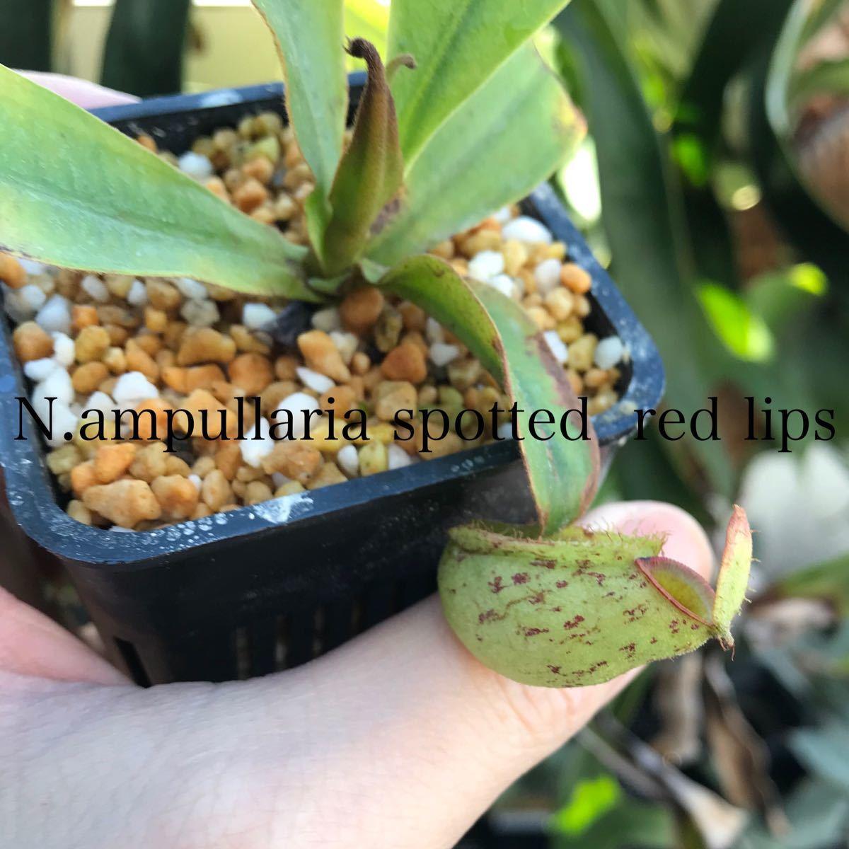 Nepenthes ampullaria spotted redlips ウツボカズラ 食虫植物 ネペンテス