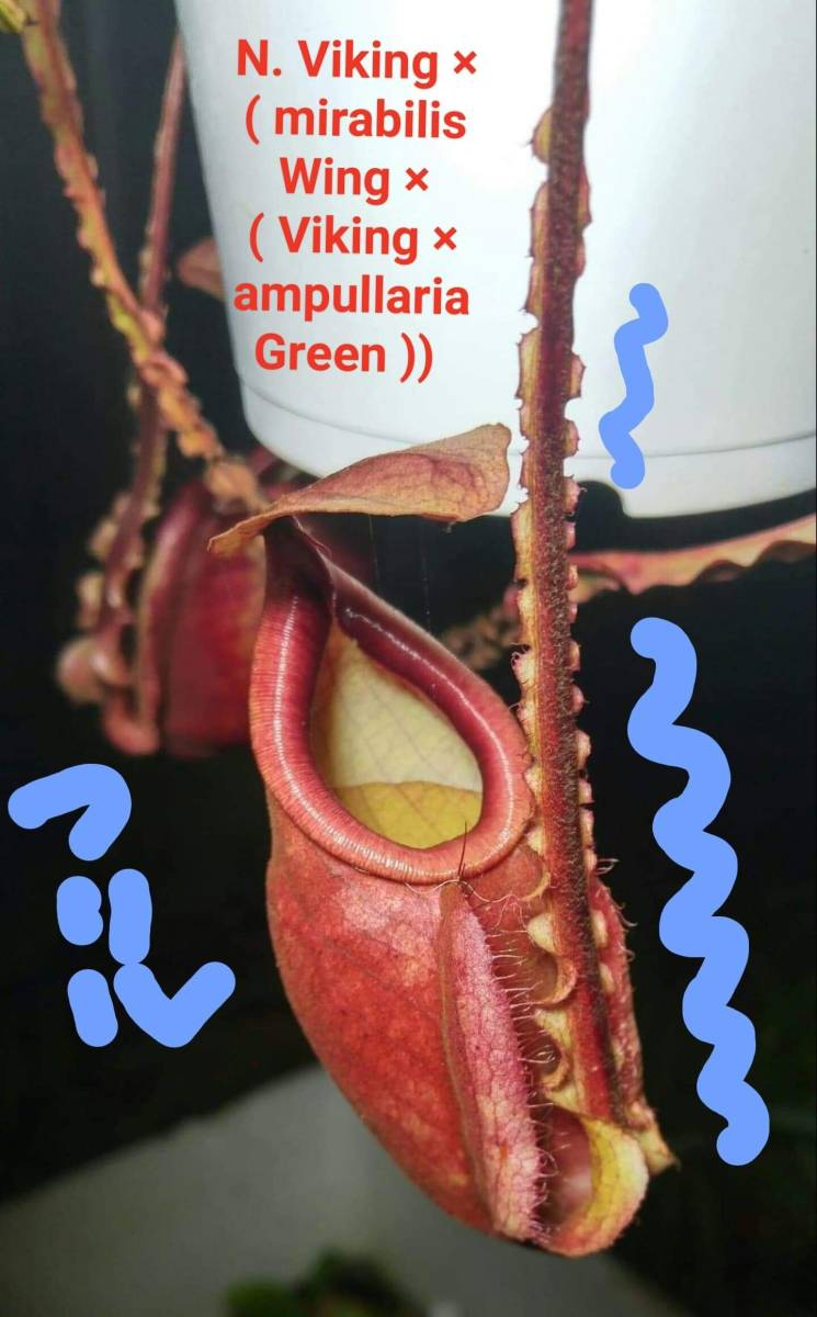 食虫植物 ネペンテス Nepenthes Viking × ( mirabilis Wing × ( Viking × ampullaria Green )) NR _画像2