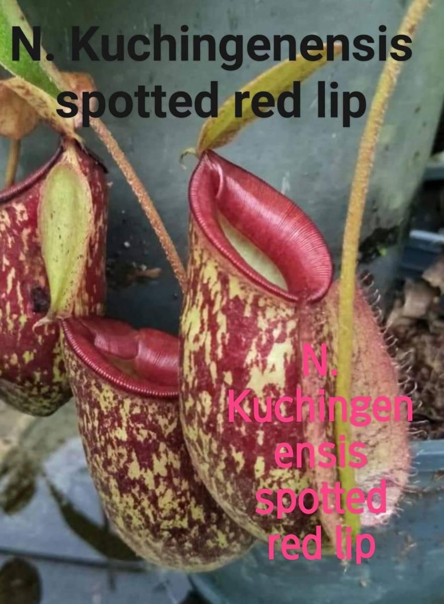 食虫植物 ネペンテス Nepenthes Kuchingenensis Spotted red lip from cutting_画像2