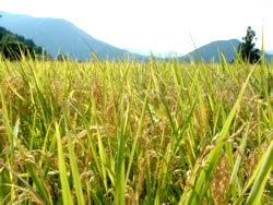 ☆自然乾燥・無農薬・有機のみ☆令和元年産ひのひかり玄米9kg _画像1