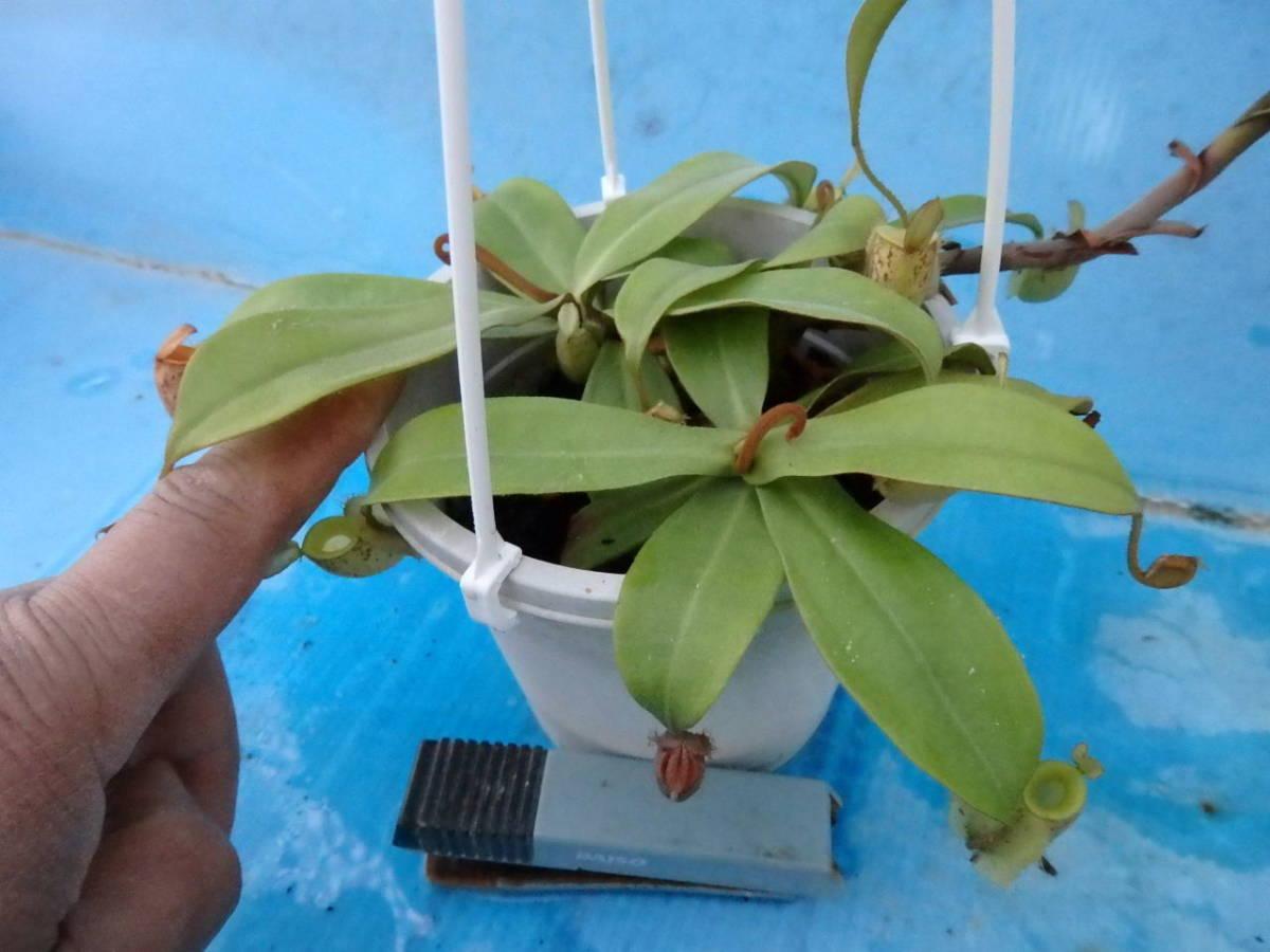 観葉植物 食虫植物 ネペンテス アンプラリア斑点
