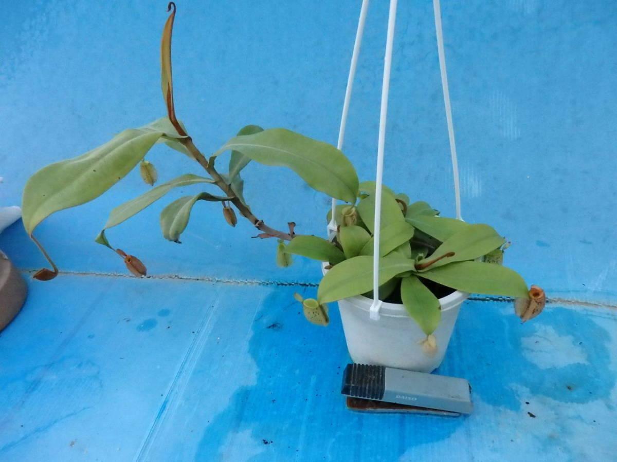 観葉植物 食虫植物 ネペンテス アンプラリア斑点_画像2