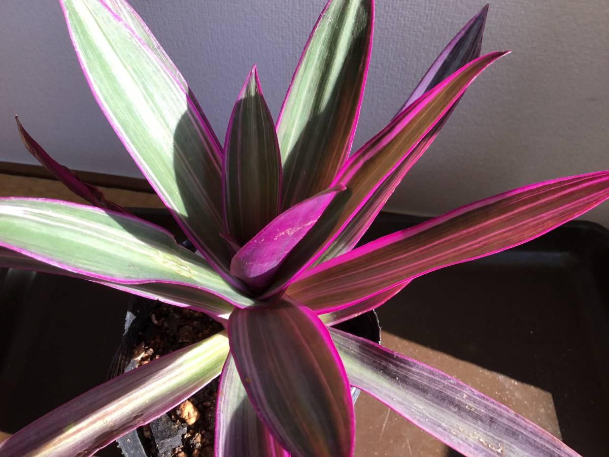 ★珍しい きれい色 紫オモト鉢植え 大株 抜き苗定形外★1円~_画像2