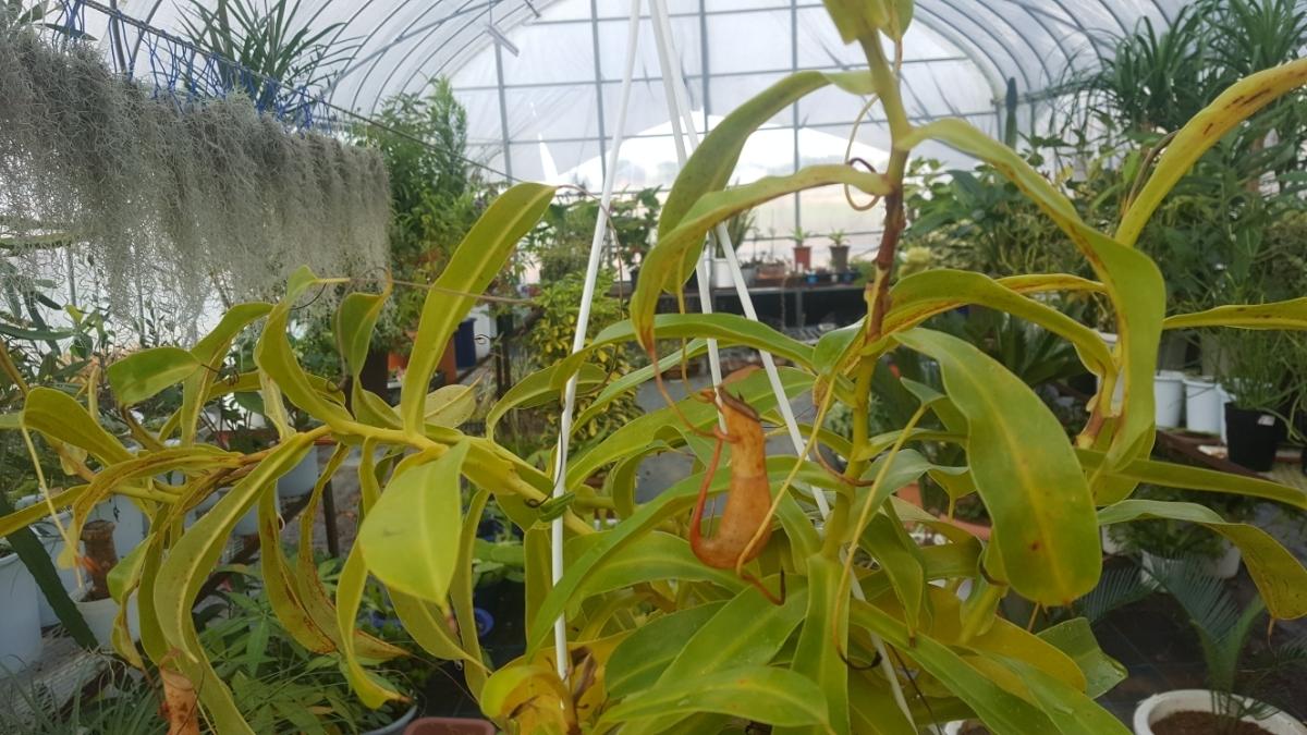 観葉植物 食虫植物 人気 ★ ウツボカズラ ネペンテス ① 吊り鉢 5寸鉢。寒さで黄色くなってきました。今だけセール_画像4