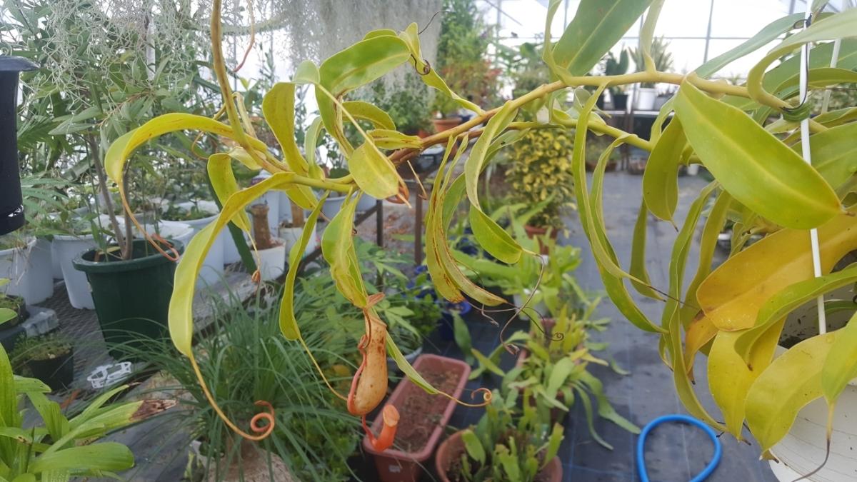観葉植物 食虫植物 人気 ★ ウツボカズラ ネペンテス ① 吊り鉢 5寸鉢。寒さで黄色くなってきました。今だけセール_画像5