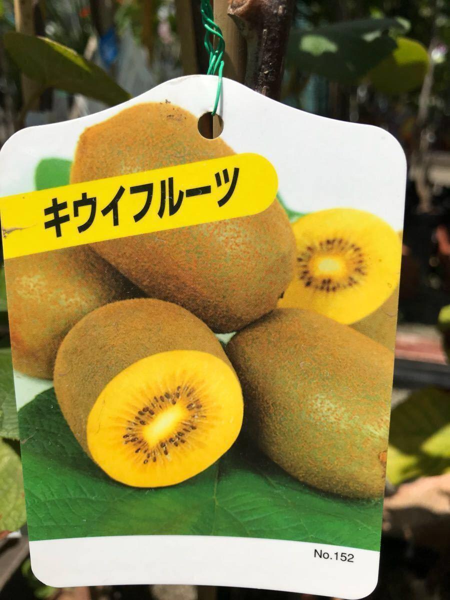 黄実キウイフルーツ(ゴールド)雌雄苗_画像1