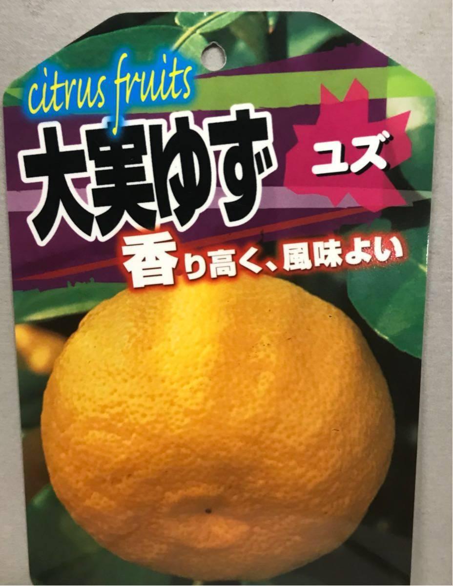 Large real Yuzu (large real citron) seedlings