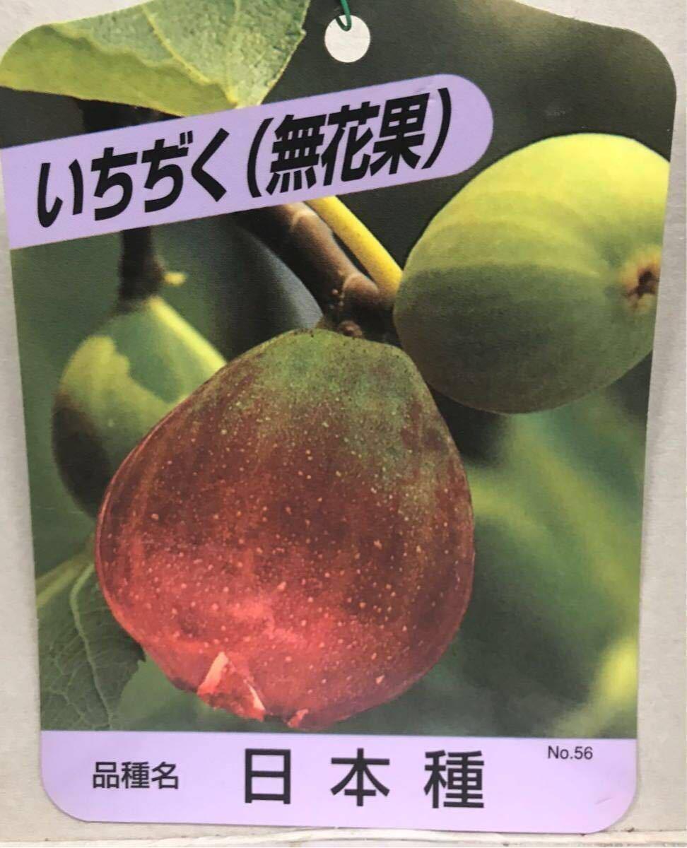 いちじく(無花果)日本種苗木_画像1