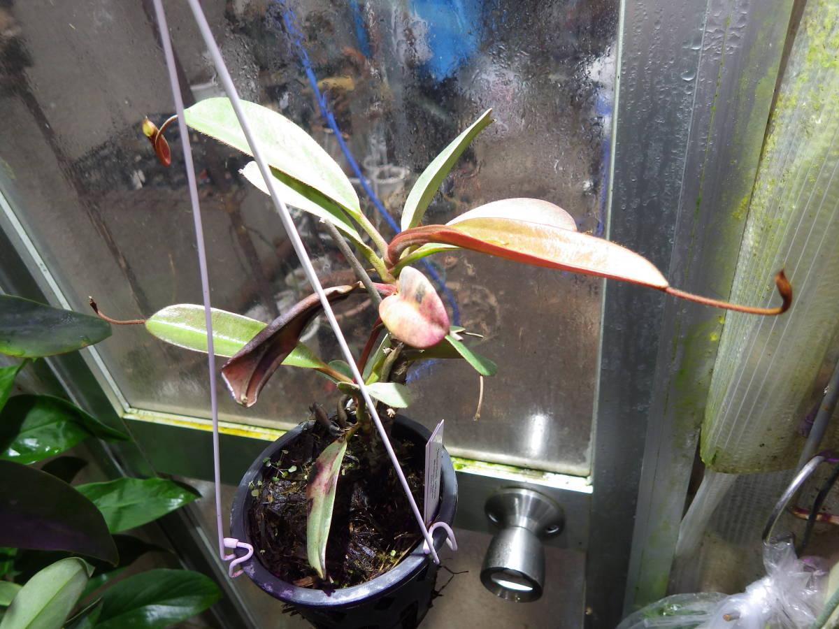 YFK2 食虫植物 Nepenthes peltata. Malaybalay, Mindanao.