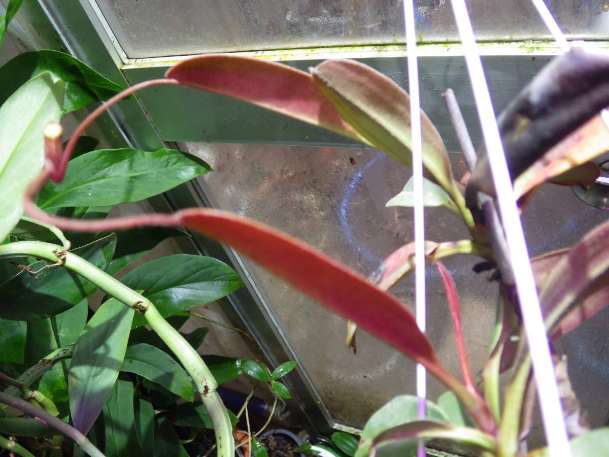 YFK2 食虫植物 Nepenthes peltata. Malaybalay, Mindanao._画像8