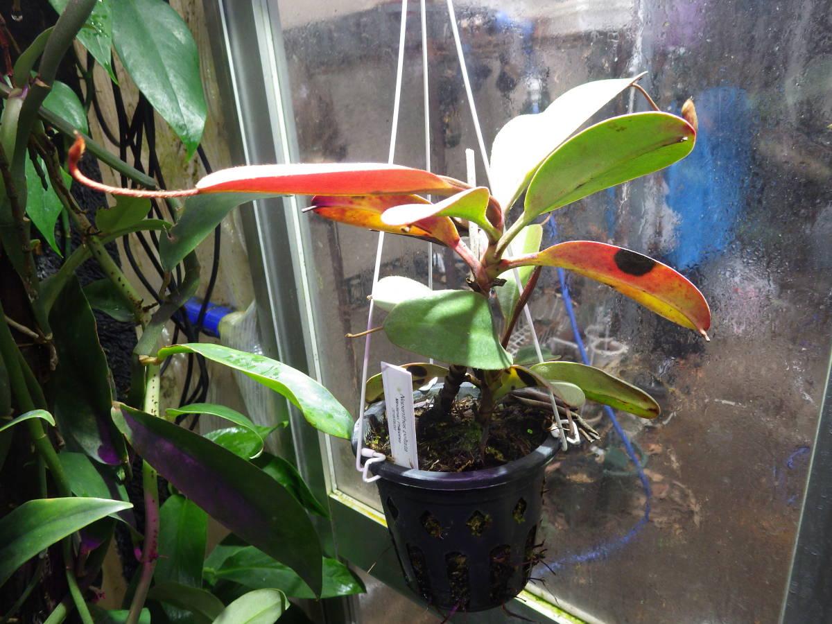 YFK2 食虫植物 Nepenthes peltata. Malaybalay, Mindanao._画像3