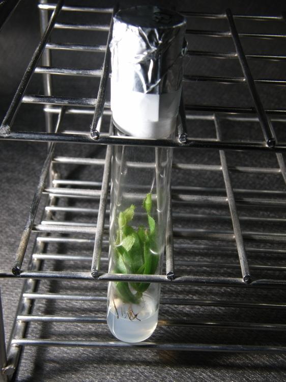 """食虫植物 Nepenthes ID未確認品 SG一点物 「in vitro """"vei. P.M. G.""""」 ネペンテス ウツボカズラ_画像3"""