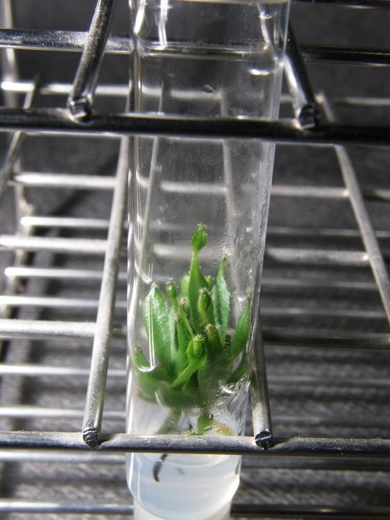 """食虫植物 Nepenthes ID未確認品 SG一点物 「. in vitro """"bur."""" 2 different clones」 ネペンテス ウツボカズラ"""