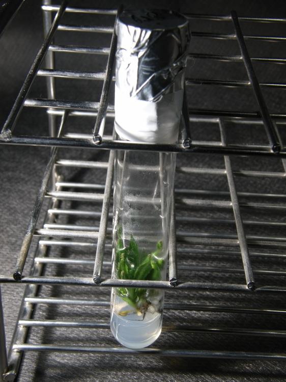 """食虫植物 Nepenthes ID未確認品 SG一点物 「. in vitro """"bur."""" 2 different clones」 ネペンテス ウツボカズラ_画像3"""