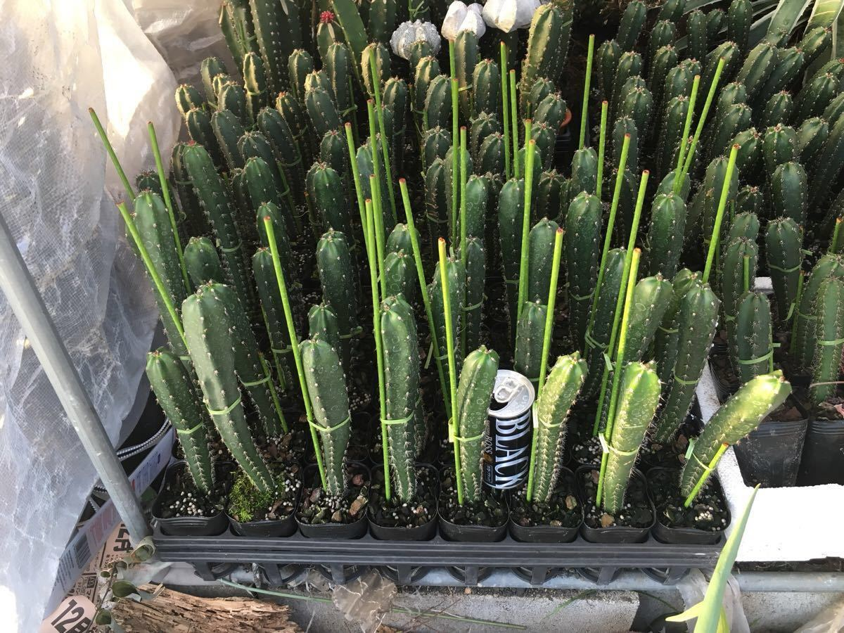 実生花袖バークポット苗台木。15~20センチ位10本セット。xAAA