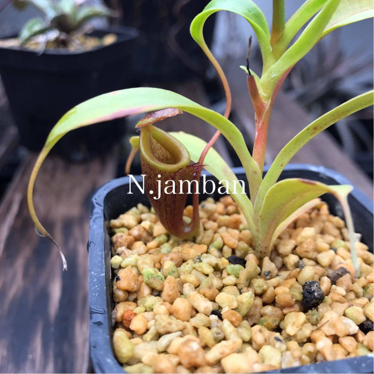 Nepenthes jamban No1 ウツボカズラ 食虫植物 ネペンテス
