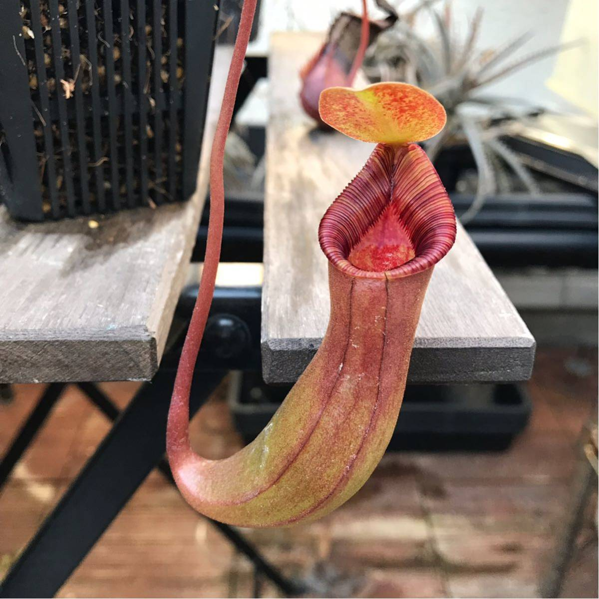 Nepenthes ventricosa×lowii Red pitcher ウツボカズラ 食虫植物 ネペンテス_画像6