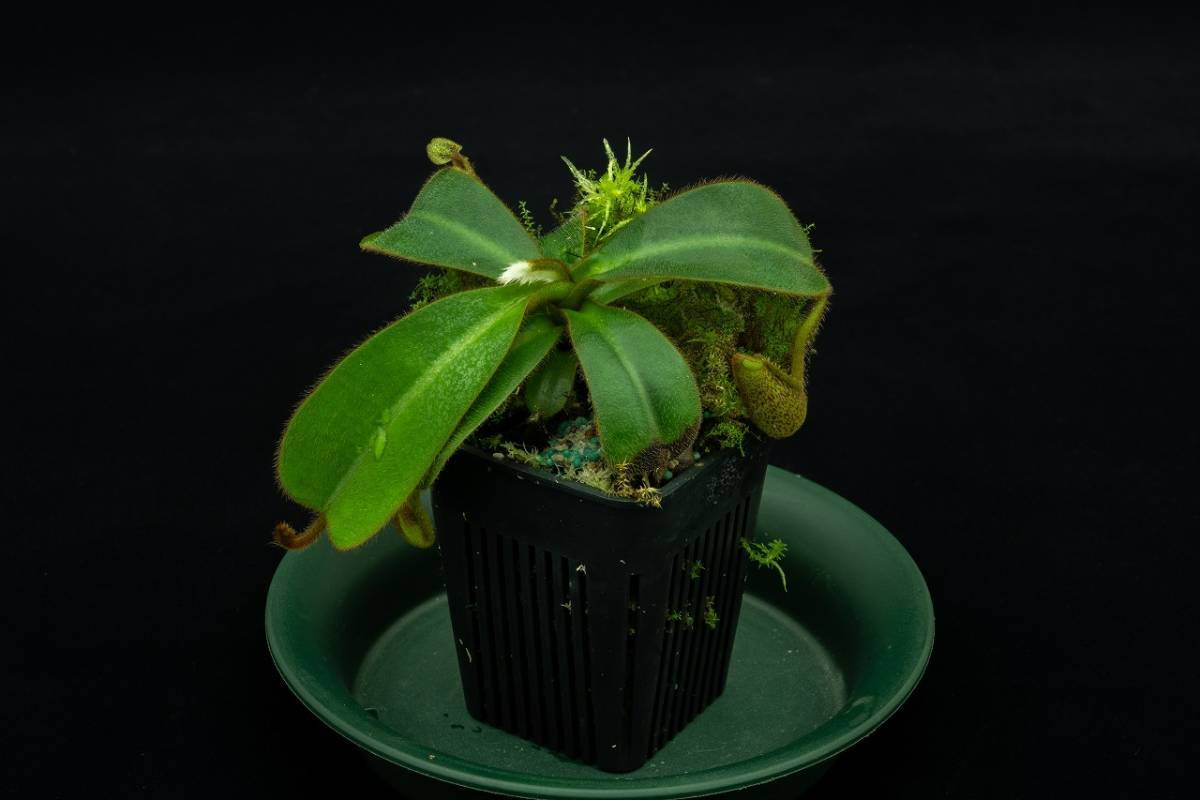 Nepenthes hurrelliana AW ② 食虫植物 ネペンテス_出品苗です
