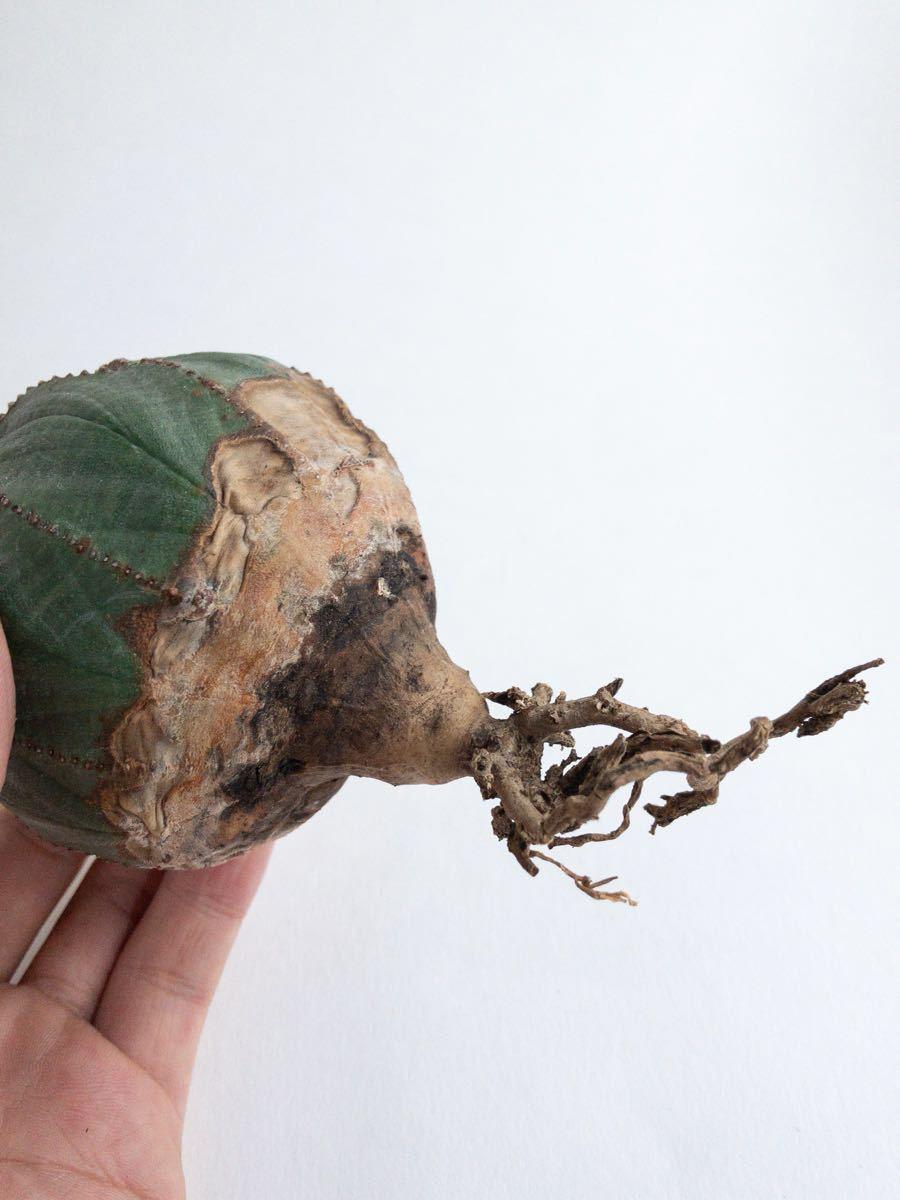 Euphorbia obesa monstrosa ユーフォルビア オベサ モンスト_画像9