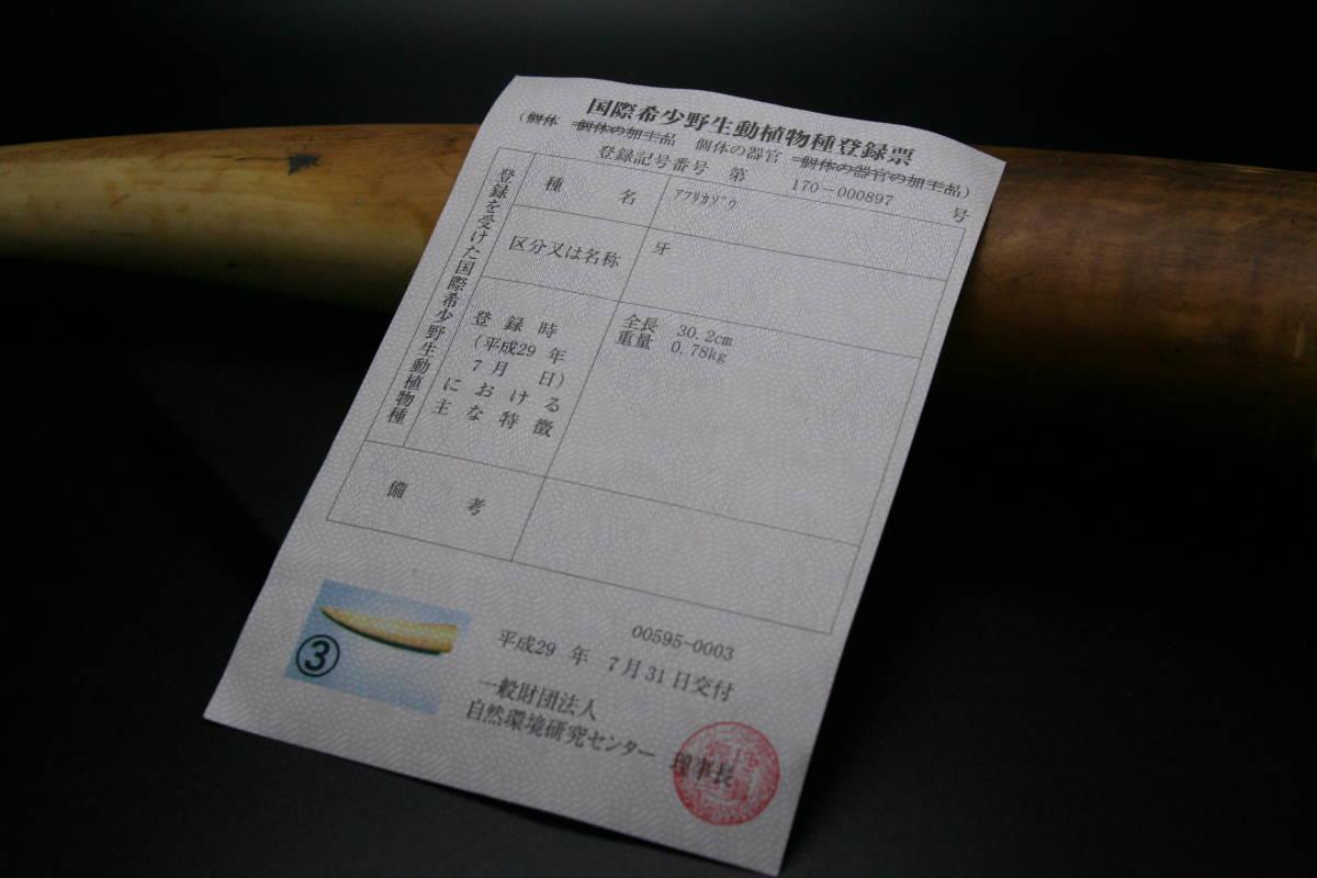 本象牙 象牙 牙先 登録票付き 印材 彫刻などに 約700g_画像6