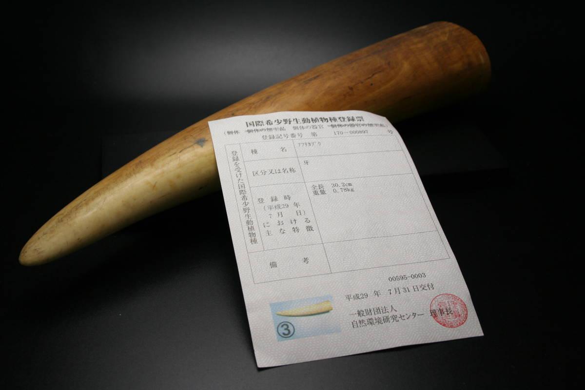 本象牙 象牙 牙先 登録票付き 印材 彫刻などに 約700g