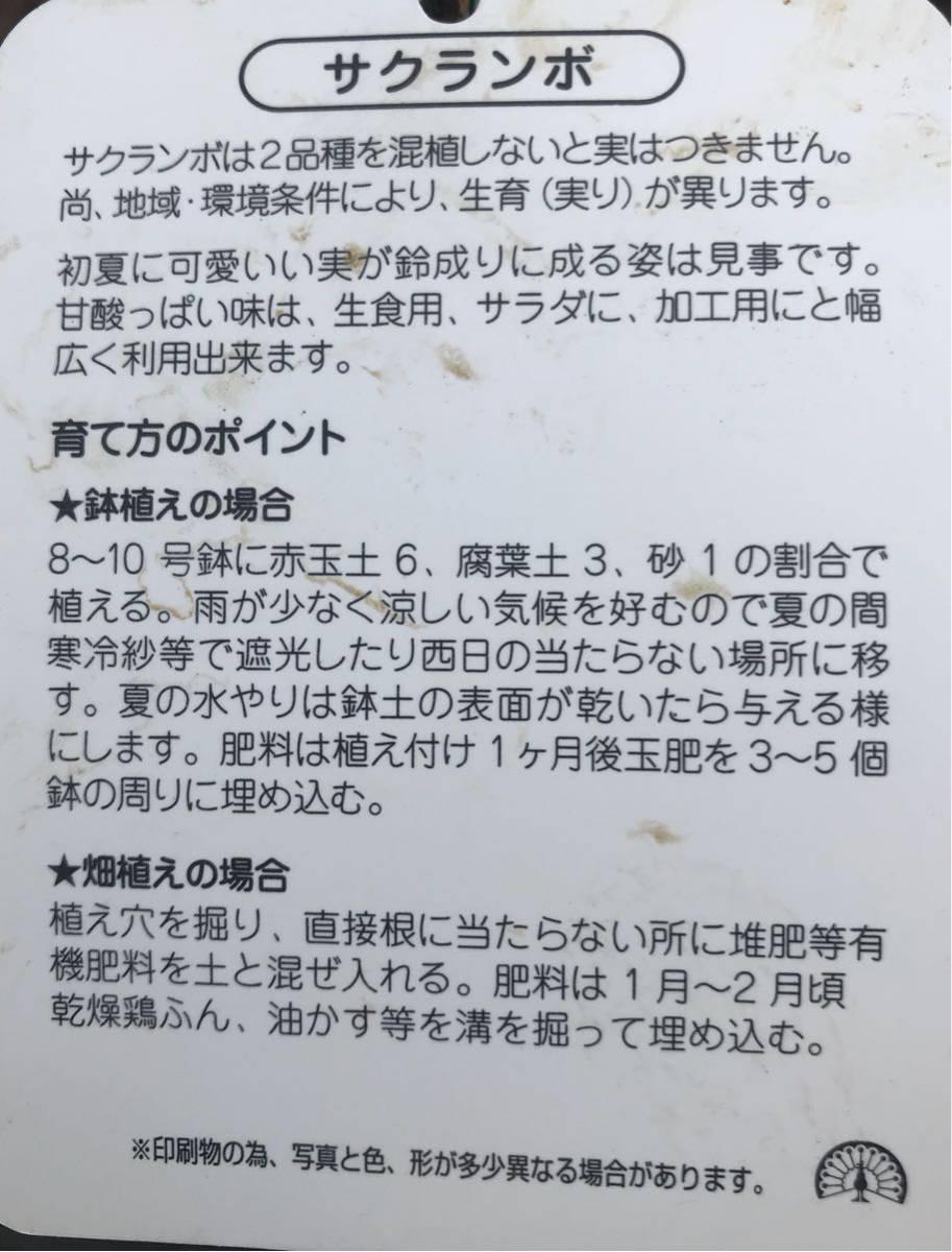 黄色いサクランボ苗木_画像2