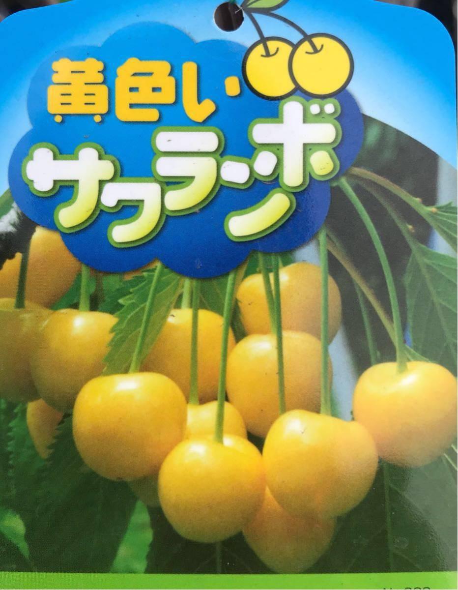 黄色いサクランボ苗木_画像1