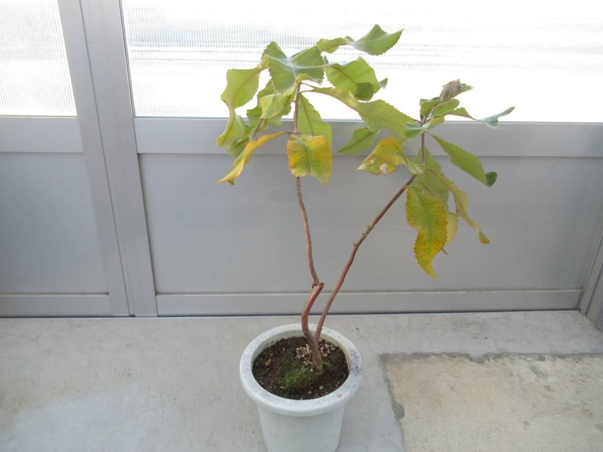 スワンプバンクシア バンクシア ロブル 7号 H=70cm オーストラリア植物_画像1