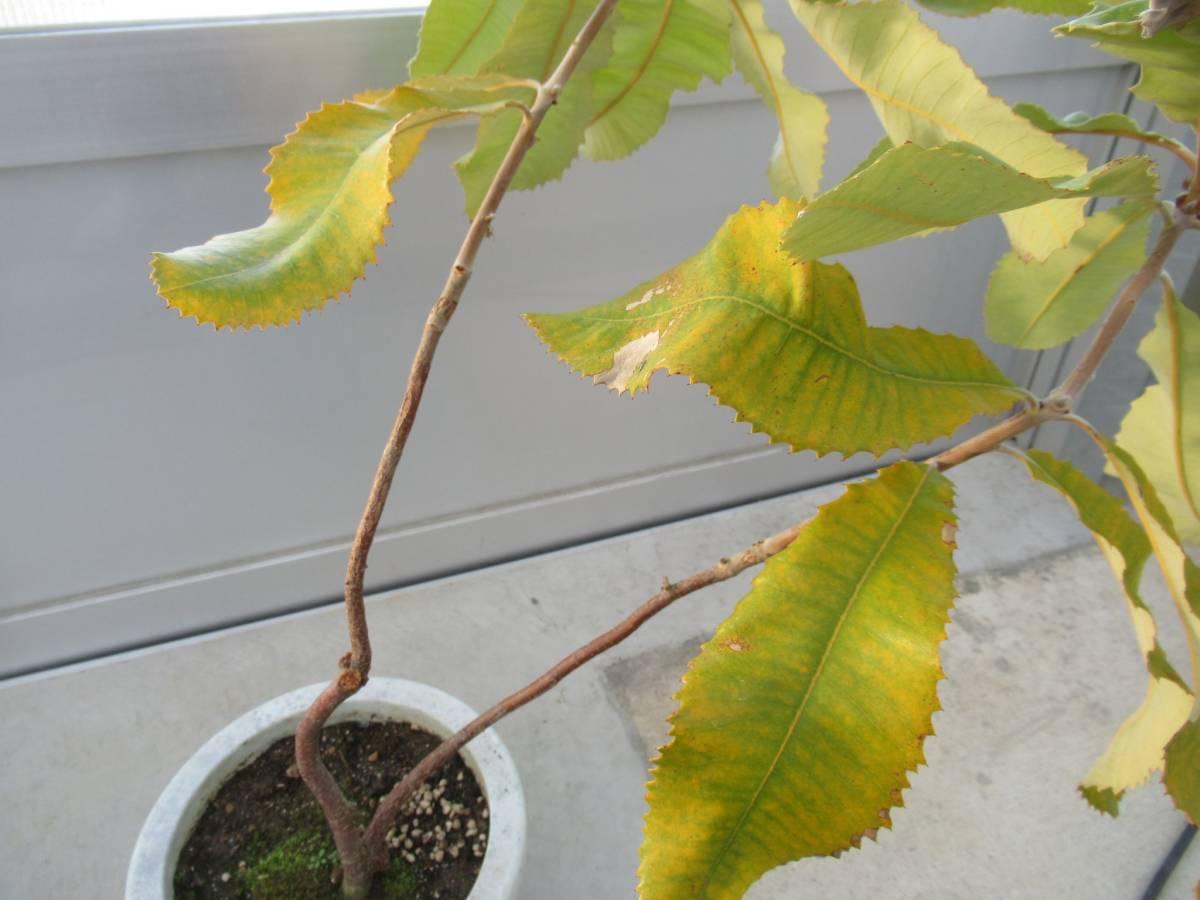 スワンプバンクシア バンクシア ロブル 7号 H=70cm オーストラリア植物_画像6