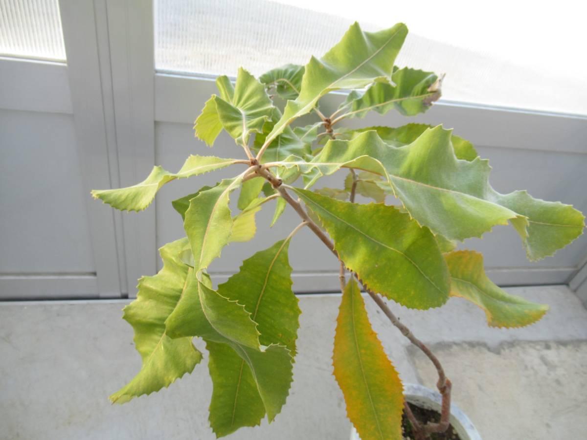 スワンプバンクシア バンクシア ロブル 7号 H=70cm オーストラリア植物_画像2