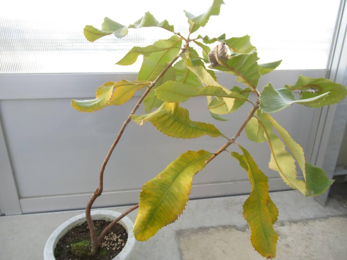 スワンプバンクシア バンクシア ロブル 7号 H=70cm オーストラリア植物_画像5