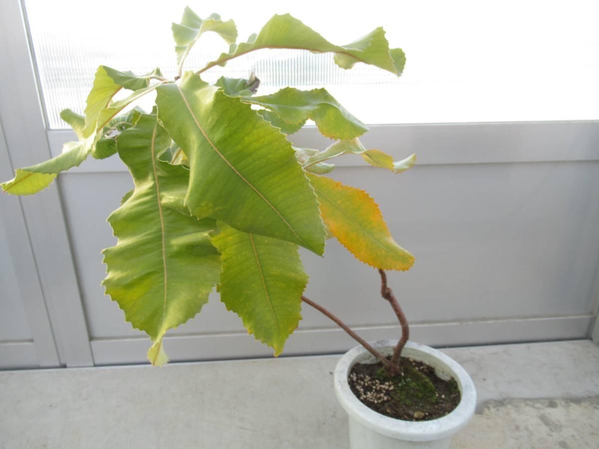 スワンプバンクシア バンクシア ロブル 7号 H=70cm オーストラリア植物_画像4
