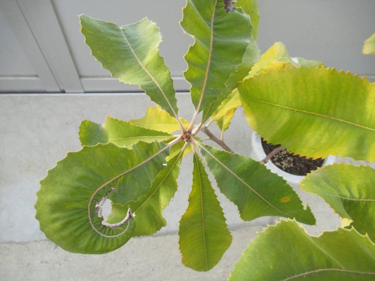 スワンプバンクシア バンクシア ロブル 7号 H=70cm オーストラリア植物_画像3