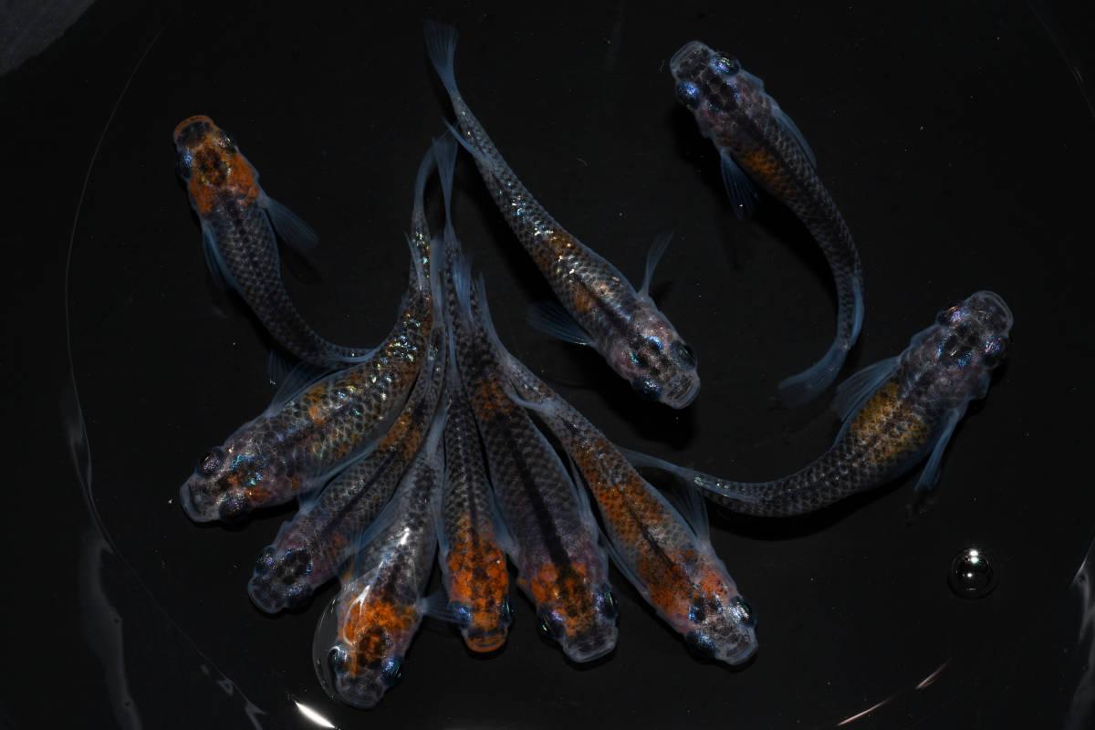 【現物出品】 煌 若魚 10匹 d-86