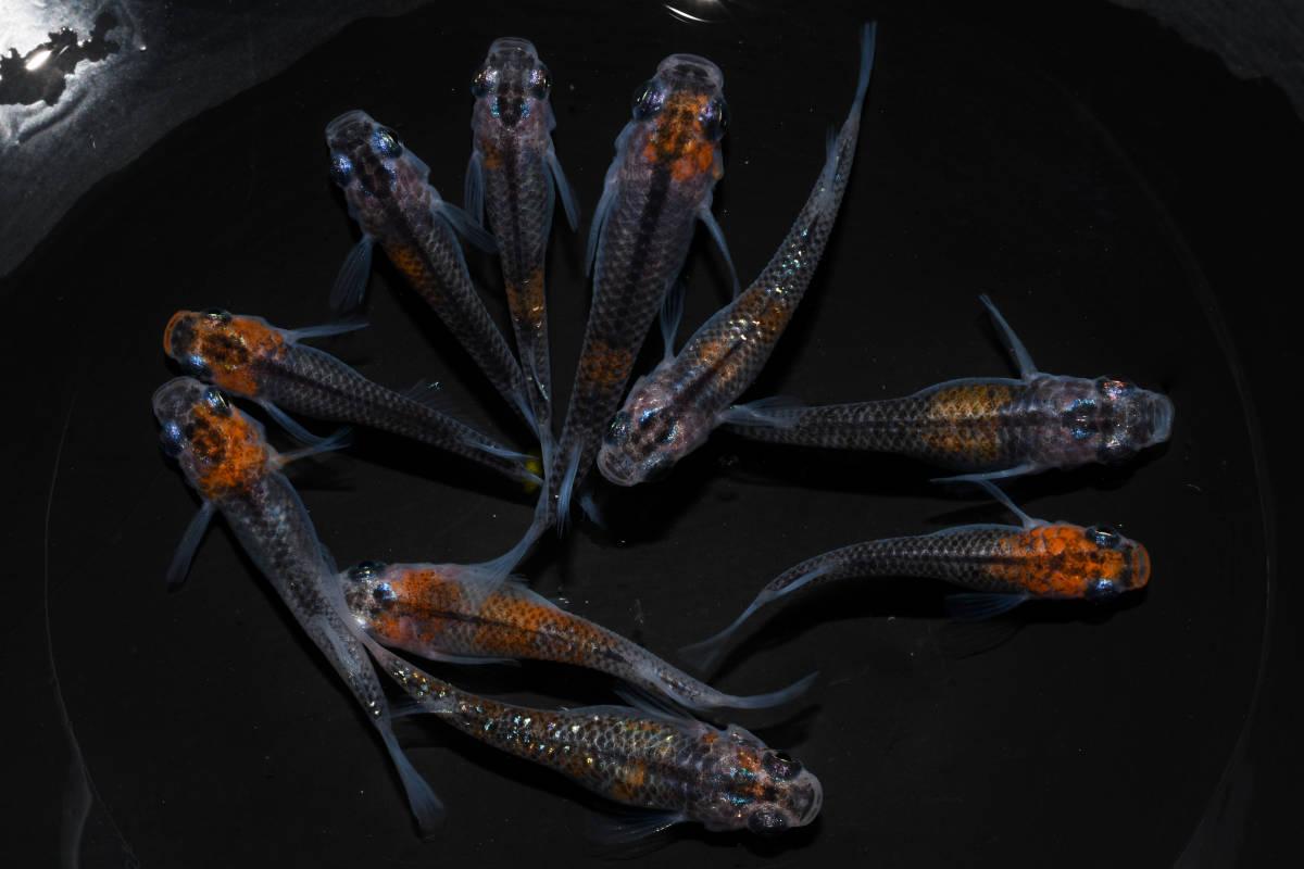 【現物出品】 煌 若魚 10匹 d-86_画像2